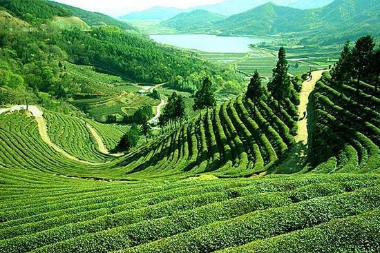 иркутск, чай, красный чай, черный чай, улун, зеленый чай, китай, шри-ланка, индия, осень, горячий чай, кружка, советы, иммунитет, здоровье